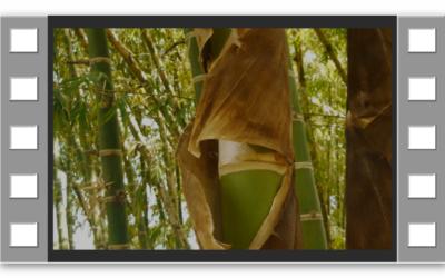 el bambú protagonista