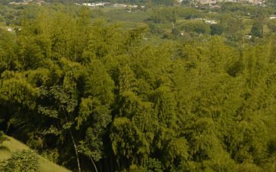 Extraordinario Bambú